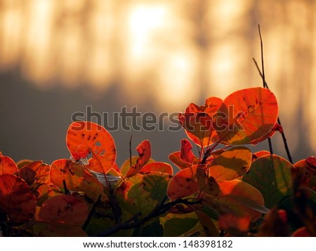 Red cotinus fence against sunset - stock photo