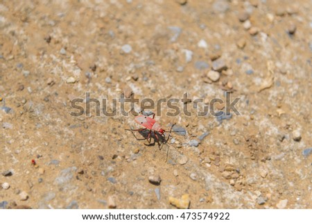 Red cotton bug, dysdercus cingulatus insect, nature.