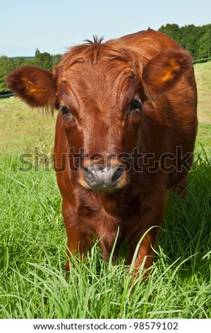 Red cow in a field of grass - stock photo
