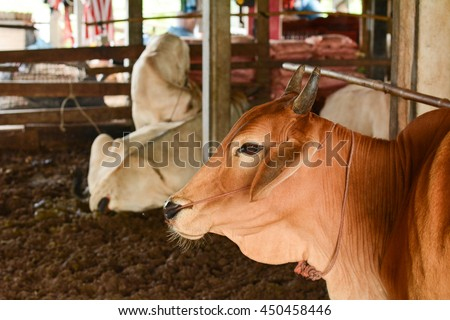 Red cow in farm