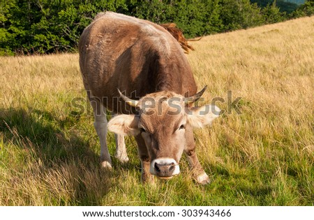 red cow looks into camera, over summer grassland with blue sky - stock photo