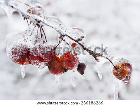 Red crab apples on branch frozen with ice in winter - stock photo