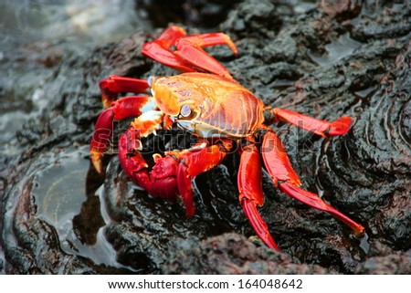 Red Crab on Lava Stone - stock photo