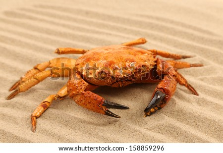 Red crab on the sea sand. Background of sand. - stock photo