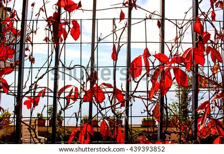 Red creeper plant climbing over a griddle wall by autumn time. - stock photo