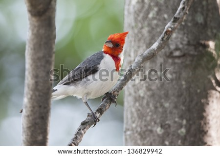 Red-crested Cardinal (Paroaria coronata) at the Buenos Aires Ecological Reserve in Buenos Aires, Argentina. - stock photo