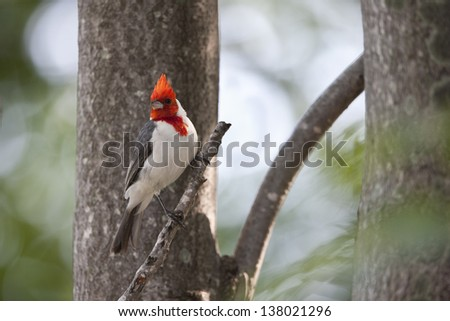 Red-crested Cardinal (Paroaria coronata) at the Buenos Aires Ecological Reserve in Buenos Aires, Argentina.