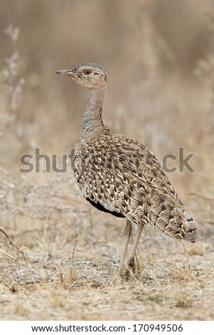 Red-Crested Korhaan (Eupodotis ruficrista) walking in the bush in the Kruger National Park, South Africa