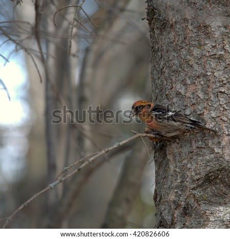 Red Crossbill feeding on a seed cone  in the coniferous forest of Alberta, Canada.  This is a stocky finch with a bill specially adapted to its food of choice - stock photo
