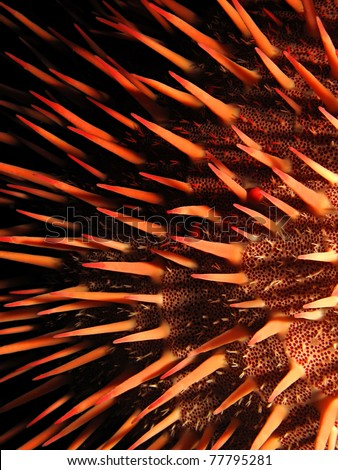 Red crown-of-thorns starfish - stock photo