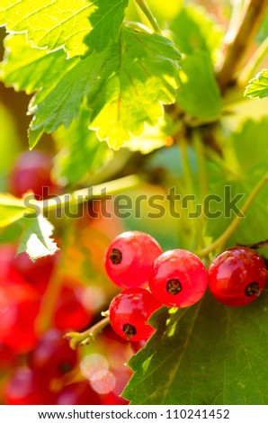red currant close up view - stock photo