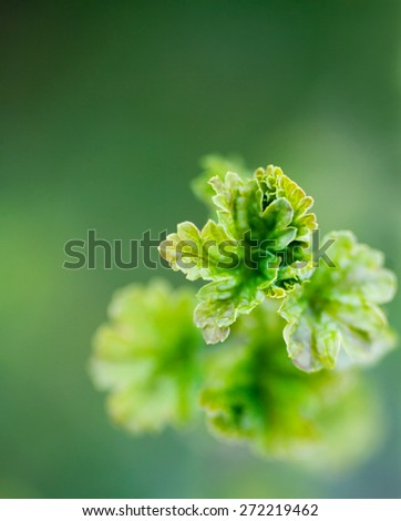 Red currant early in spring - stock photo