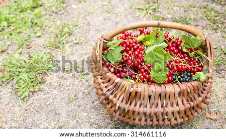 Red currants in the basket
