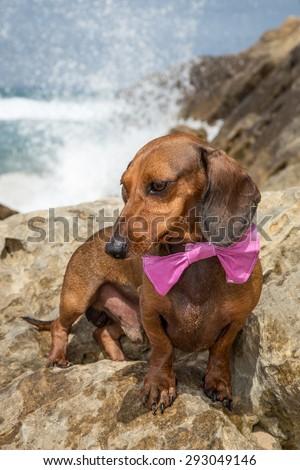 Red dachshund dog on a beach - stock photo