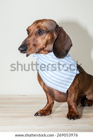 Red dachshund dog with sun glasses or bow tie scarves Red dachshund dog with sun glasses or bow tie handkerchiefs over wooden table