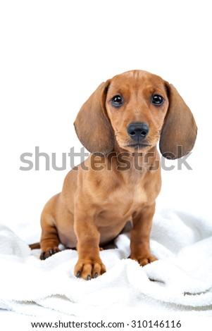 Red dachshund puppy isolated on white background.