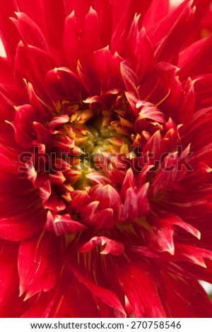 red dahlia background - stock photo