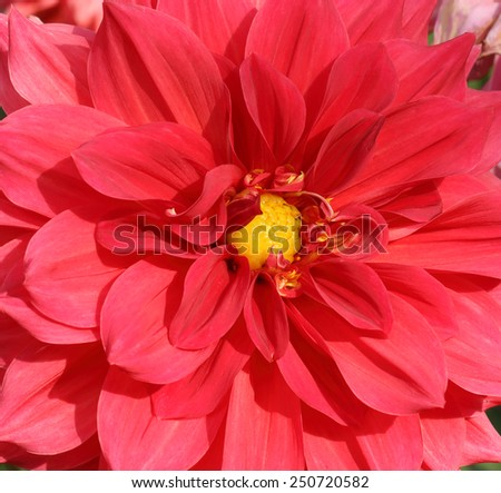 Red Dahlia Close Up - stock photo