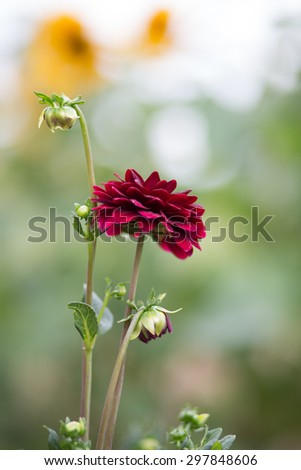 Red dahlia flower in the garden. Flower blossom in bright red colour - stock photo
