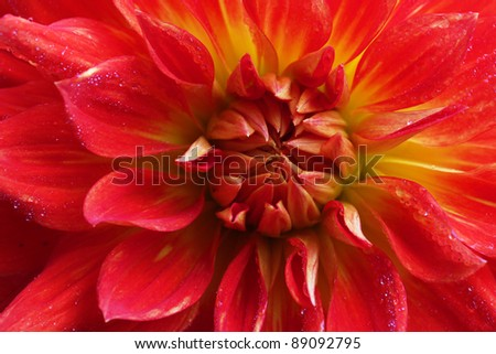 Red dahlia flower macro - stock photo