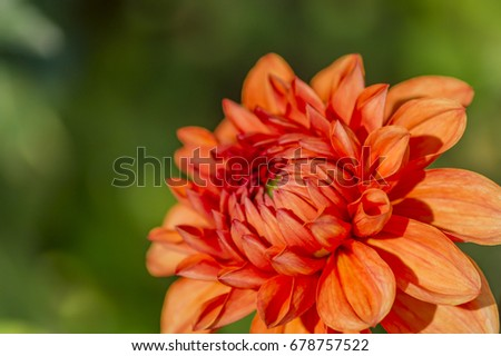 red dahlia in the garden