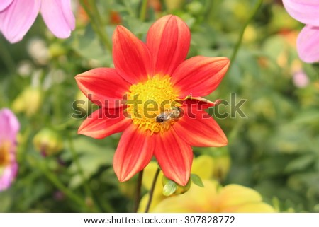 """Red """"Dahlia Single Fimbriated Seedling"""" flower with bee in Innsbruck, Austria. It is classified as """"Single Flowered Dahlia"""" and native to Mexico. - stock photo"""