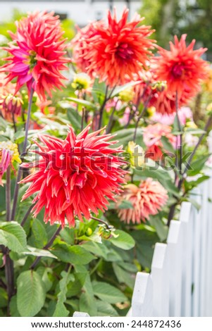 Red dahlias behind a picket fence in a domestic garden - stock photo