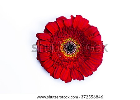 Red Daisy Flower Head