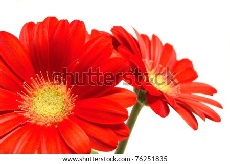 Red daisy flowers close-up on a white background - stock photo