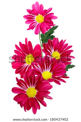 red daisy flowers isolated on white - stock photo