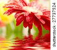 Red daisy-gerbera with soft focus reflected in the water - stock photo