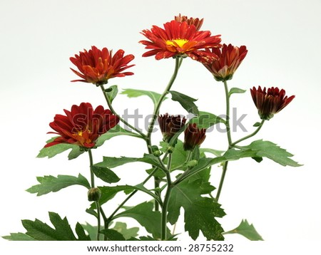 Red daisy on white background. - stock photo