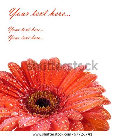 red daisy with drops - macro - stock photo