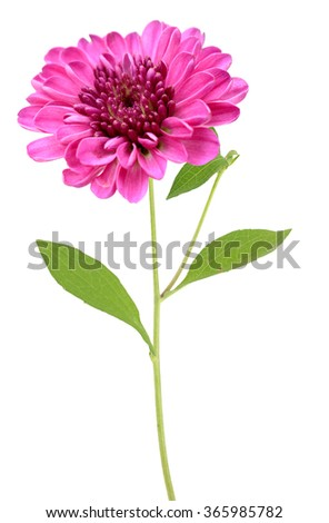 red daisy with stem isolated on white background