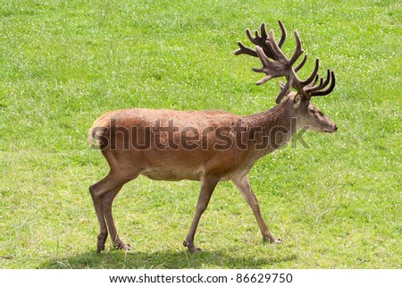 Red deer carrying heavy antlers strutting across meadow