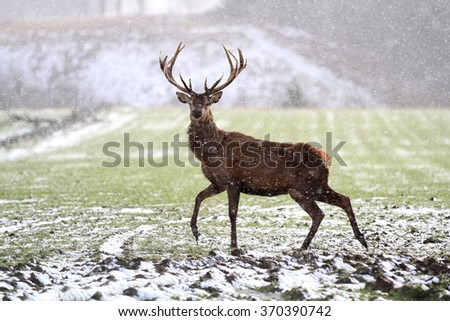 Red Deer (Cervus elaphus) in the Scottish Winter Snow - stock photo