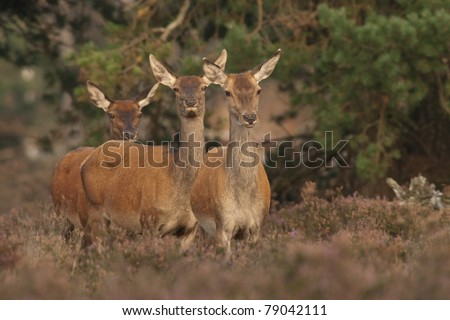 Red deer during estrous cycle