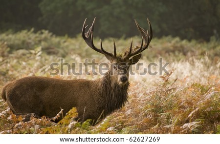 Red deer during rut season in October, Autumn, Fall - stock photo