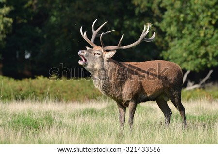 Red deer head, Cervus elaphus - stock photo