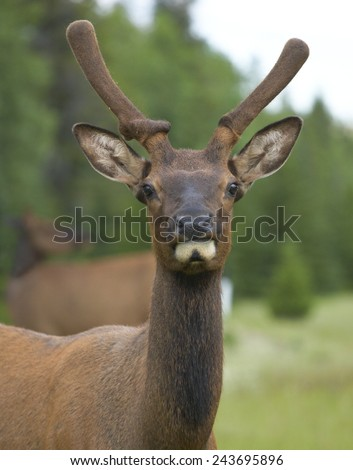 Red deer head with green background. Jasper. Canada. Vertical