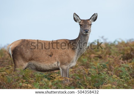 Red Deer Hind in thick bracken/Red Deer Hind/Red Deer Hind (cervus elaphus)