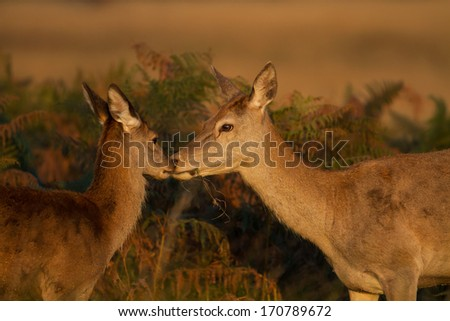 Red deer hind with her calf. - stock photo