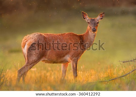 Red deer in golden sunset light
