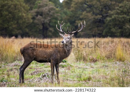 Red deer in Richmond Park, London