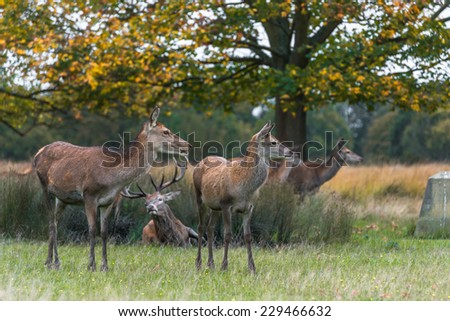 Red deer in the autumn Richmond park, London, UK  - stock photo