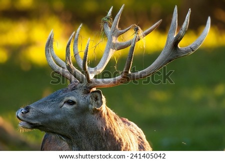 Red deer in the rut - stock photo