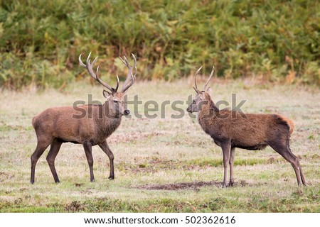 Red Deer Pictured At Bradgate Park In Leicestershire