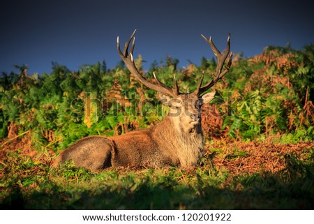 Red Deer Resting - stock photo
