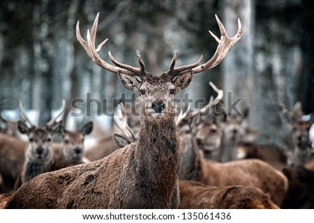 Red Deer Stag and Herd (Cervus elaphus) in the Scottish Winter Snow - stock photo