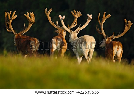 Red deer stag, bellow majestic powerful adult animal outside autumn forest, big animal in the nature forest habitat, England. Animal with big antlers. Deer with big antlers. Deer in the nature habitat - stock photo